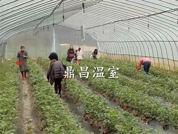 单体草莓大棚